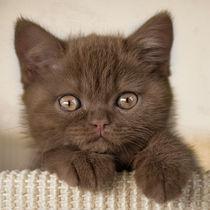 Britisch Kurzhaar Kitten / 81 von Heidi Bollich