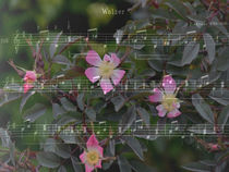 Rosenwalzer - Rose waltz by Chris Berger