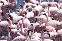 Walvis Bay Namibia Flamingo's (Phoenicopteridae) von kytefoto