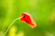 Mohnblume by Fernand Reiter