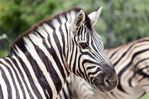 Etosha National Park Namibia Zebra von kytefoto