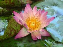Seerosen-Makro, Wassertropfen, water lily, pink, nymphaea von Dagmar Laimgruber
