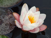 Seerose im Regen, Blüten der Nymphaea,  waterlily and waterdrops, Makrofotografie by Dagmar Laimgruber