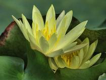 Seerosen, Blüten der Nymphaea, tropical waterlilies, Makrofotografie by Dagmar Laimgruber
