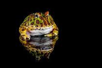 Argentine horned frog  von Danny Callcut