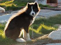 schlittenhund  by k-h.foerster _______                            port fO= lio