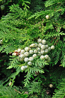 Lawson Cypress, Young Seed Cones von Rod Johnson