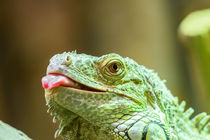 Green Iguana Reptile Portrait On Tree Branch von Radu Bercan