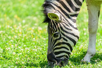 Wild Zebra Grazing On Fresh Green Grass Field von Radu Bercan