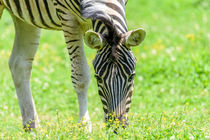 Wild Zebra Grazing On Fresh Green Grass Field by Radu Bercan
