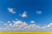 Yellow Rapeseed Flowers Field With Blue Sky von Radu Bercan