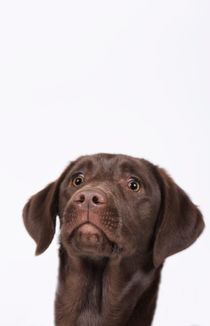 Labrador Welpe / 81 von Heidi Bollich