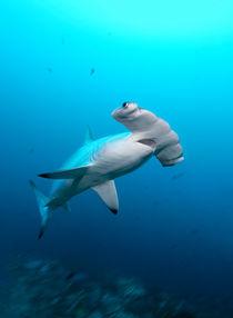 Scalloped Hammerhead Shark, Bogenstirn-Hammerhai von Norbert Probst