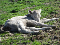 Newborn Calf by rambler