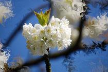 Frühlingskirsche von Nikola Hahn