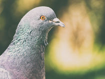Pigeon Portrait by Radu Bercan