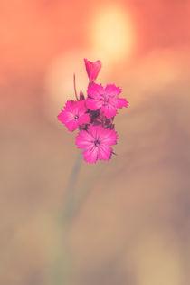 Kartäusernelke - Dianthus carthusianorum von Peter Eggermann