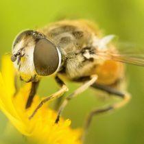 Schwebfliege auf gelber Wiesenblume by toeffelshop