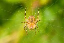 Spinne im Netz 7 von toeffelshop
