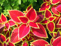 Decorative red Coleus closeup by Vladislav Romensky