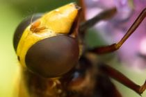 Kopf einer Hornissen Schwebfliege von toeffelshop