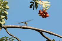 Libelle auf dem Ast einer Eberesche by toeffelshop