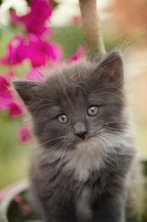 Norweger Kitten / 9 von Heidi Bollich