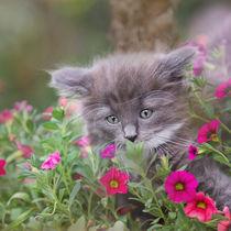 Norweger Kitten / 11 von Heidi Bollich