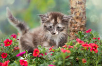 Norweger Kitten / 12 by Heidi Bollich