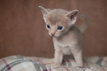 Abessinier Kitten / 23 von Heidi Bollich