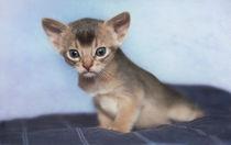 Abessinier Kitten / 24 von Heidi Bollich
