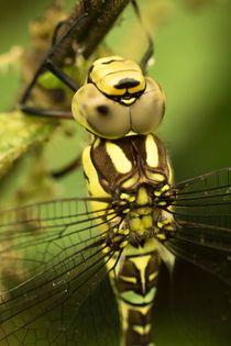 Libelle an Brennnessel von toeffelshop