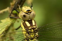 Libelle an Brennnessel 2 von toeffelshop