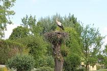 Storch in Equisheim von mariso