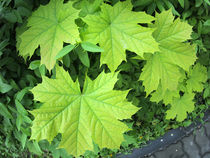Leaves of a young maple tree on the background of a bush von Vladislav Romensky