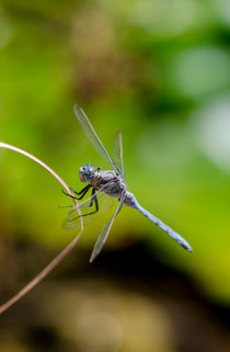 Male Keeled Skimmer, dragonfly by Perry  van Munster
