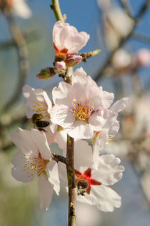 Sweet almond blossom by Perry  van Munster