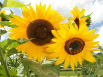 Sonnenblumen von wokli