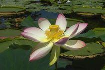 Naturimpressionen 15, Lotosblüte von wokli