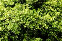 Green Tree Foliage In Spring von Radu Bercan