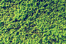 Green Angel Tear Plant Or Pollyanna Vine (Soleirolia Soleirolii Urticaceae) Texture by Radu Bercan