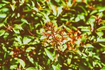 Firebush Or Hummingbird Bush (Hamelia Patens) Flower von Radu Bercan