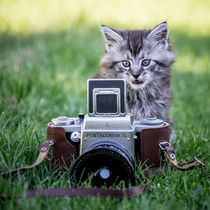 Maine Coone Kitten by Susi Stark