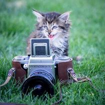 Maine Coone Kitten von Susi Stark