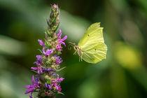 Butterfly by Leo Walter