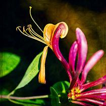 Gartengeißblatt (Lonicera caprifolium) - Italian Honeysuckle by Volker Röös