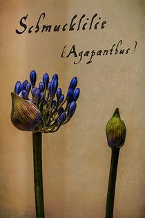 Schmucklilie (Agapanthus) von Volker Röös