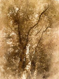 The Old Silver Birch von rambler