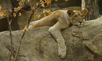 Lion No. 366 von Roger Brandt