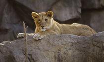 Lion No. 443 von Roger Brandt